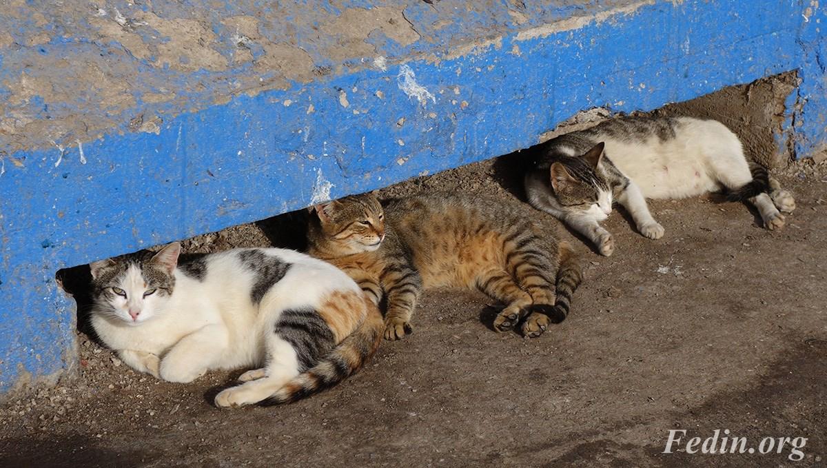 кошки марокко 14