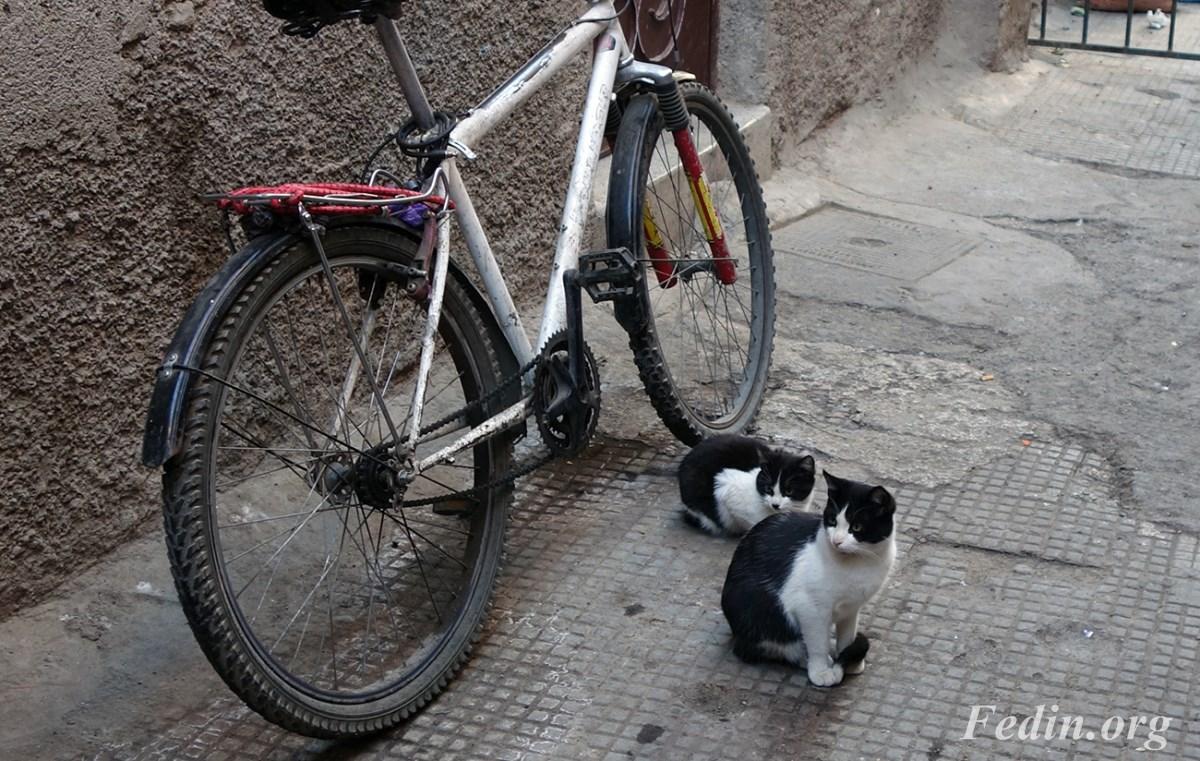 кошки марокко 4