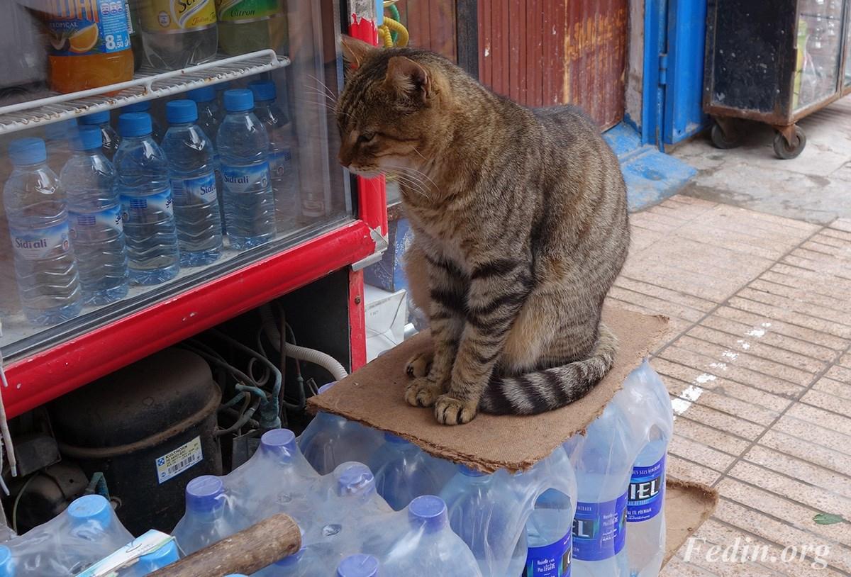 кошки марокко 9