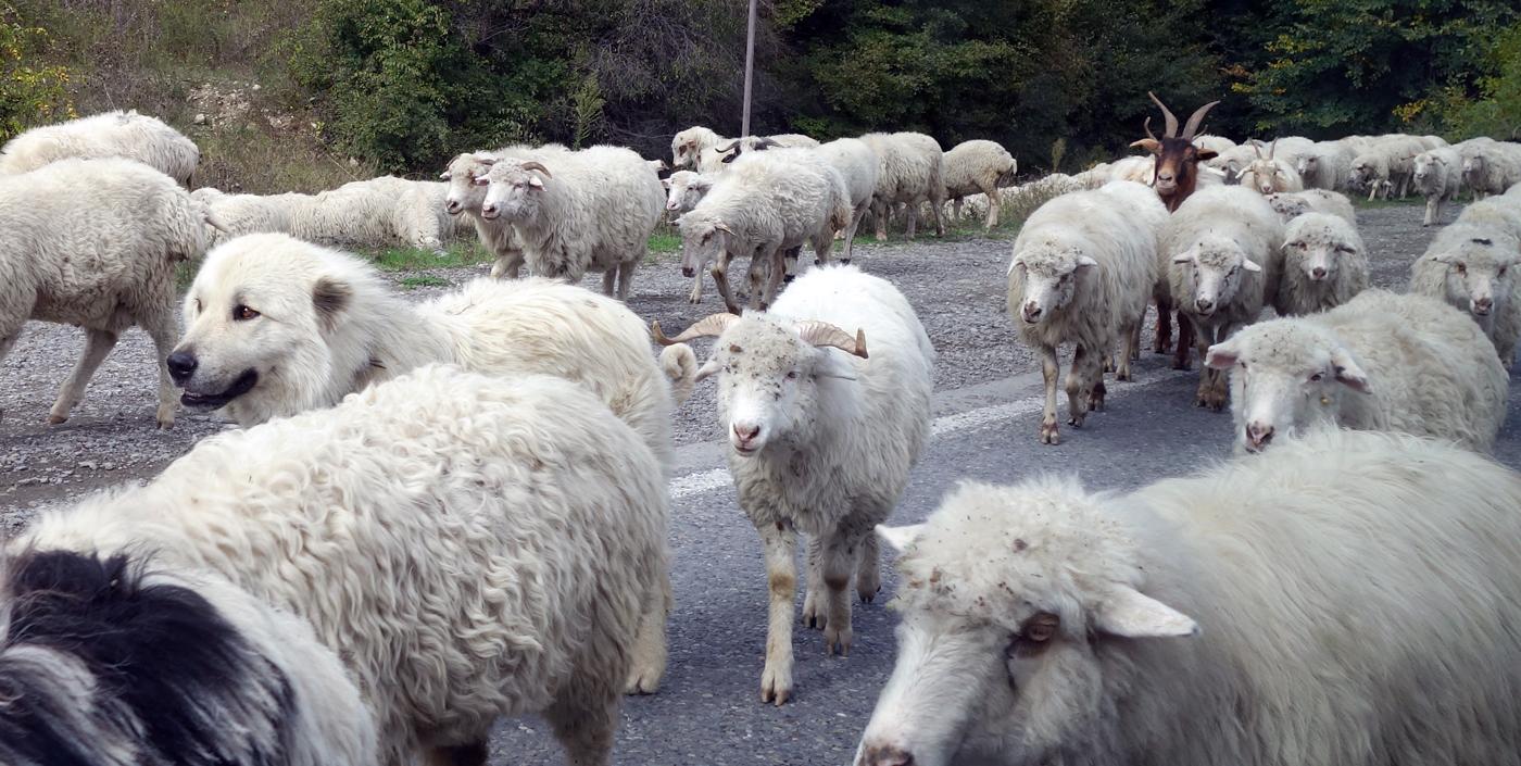 Стадо овец на грузинской дороге